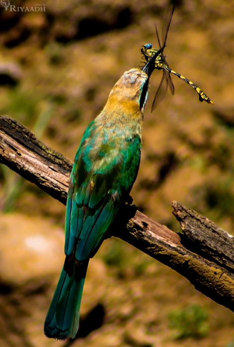 bee eater eat dragonfly
