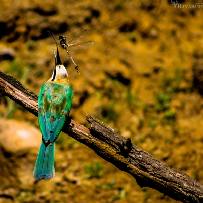 bee eater with dragonfly