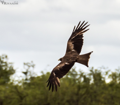 kruger eagle in flight