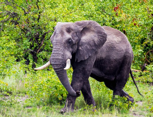 kruger elephant casual
