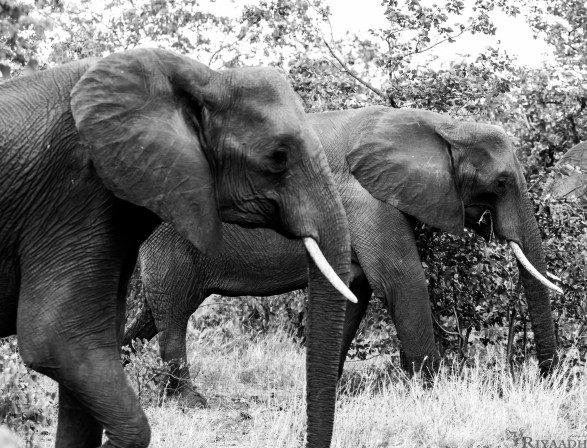 kruger elephant symmetry