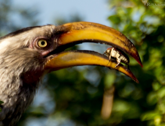 kruger hornbill beetle in mouth