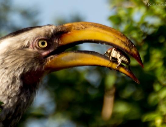 kruger hornbill beetle in mouth