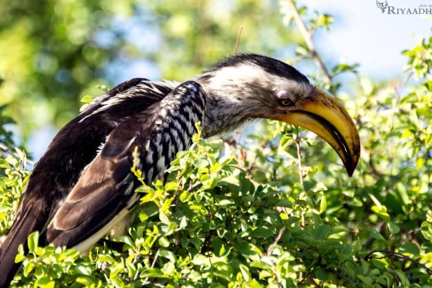 kruger hornbill_