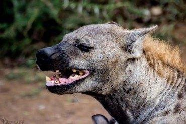 kruger hyena gnarl