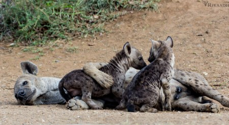 kruger hyena mother