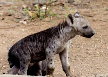 kruger hyena pups