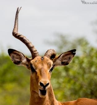 kruger impala broken horn