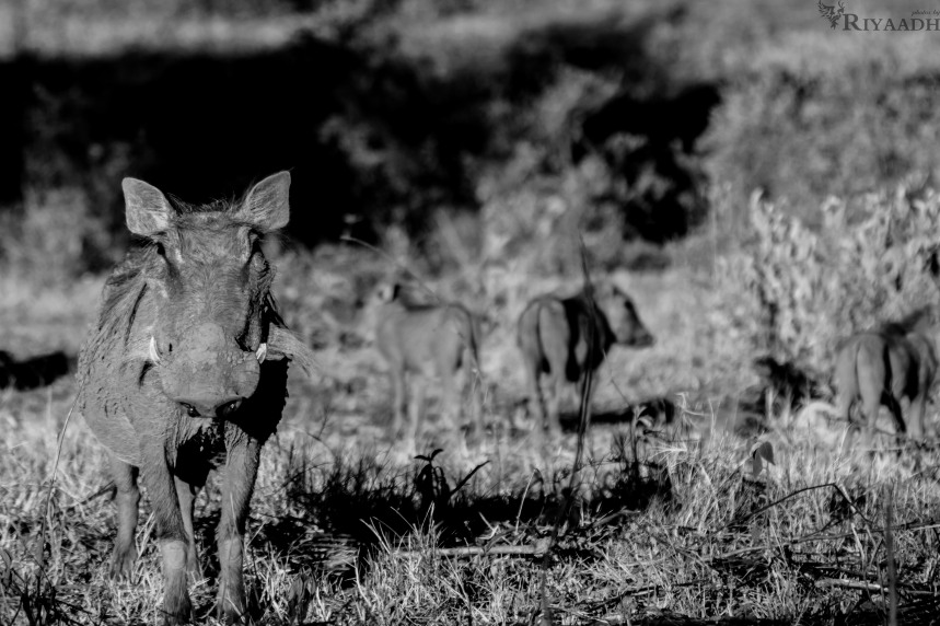 kruger mother guarding warthog babies