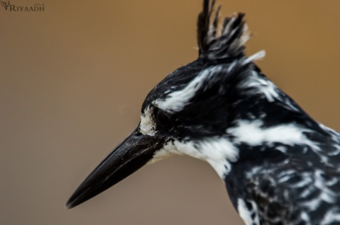 kruger pied kingfisher
