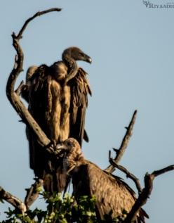 kruger vulture in tree