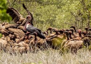 kruger vultures on carcass-2