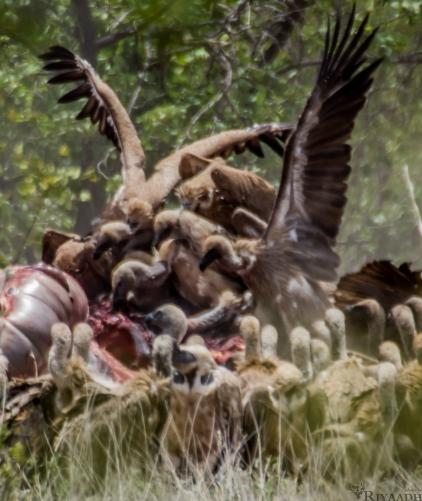 kruger vultures on carcass