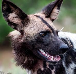 kruger wild dog 2
